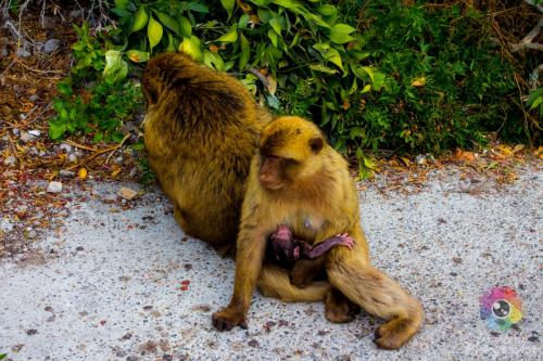 Monkeys of Gibraltar Rock